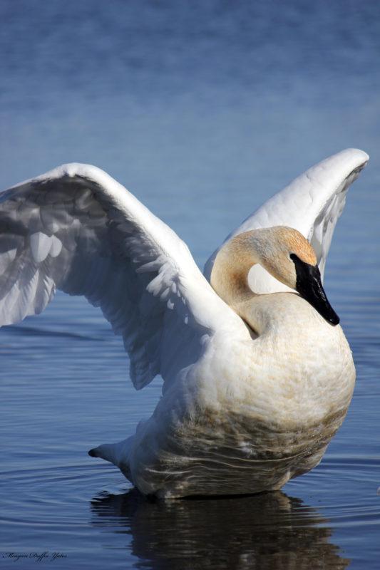 SwanStretching22